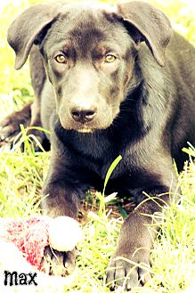 Labrador Retriever Mix Puppy for adoption in Glastonbury, Connecticut - Max