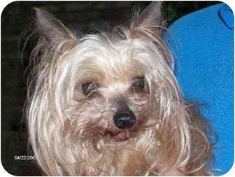 Yorkie, Yorkshire Terrier Dog for adoption in Statewide and National, Texas - Penny