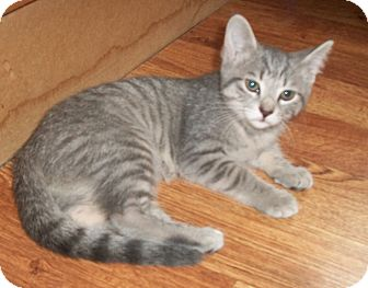 Domestic Shorthair Kitten for adoption in Leamington, Ontario - Toosweet