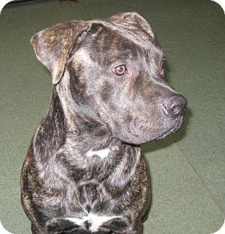 Mastiff Mix Dog for adoption in McClure, Ohio - Sarge