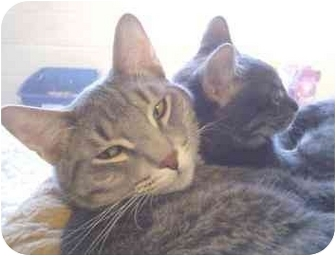 Domestic Shorthair Cat for adoption in Walker, Michigan - Jinxers