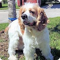 Adopt A Pet :: Tobasco - Sugarland, TX