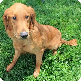 Golden Retriever Mix Dog for adoption in Janesville, Wisconsin - Marley