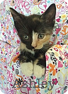Domestic Shorthair Kitten for adoption in Williamston, North Carolina - Ashley