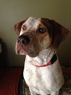 Hound (Unknown Type) Mix Dog for adoption in Nixa, Missouri - James #520