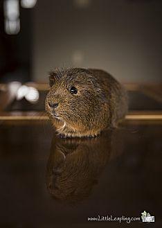 "Guinea Pig for adoption in Manhattan, Kansas - Jack ""AfroJack"""