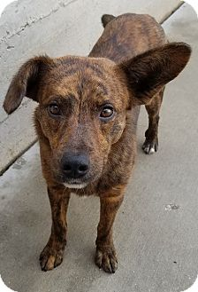 Shepherd (Unknown Type)/Mountain Cur Mix Dog for adoption in Chicago, Illinois - Barney*ADOPTED!*
