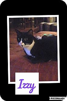 American Shorthair Cat for adoption in Scottsdale, Arizona - Izzy