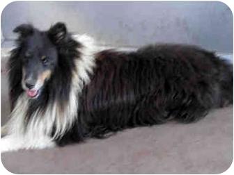 Sheltie, Shetland Sheepdog Dog for adoption in San Diego, California - Bob