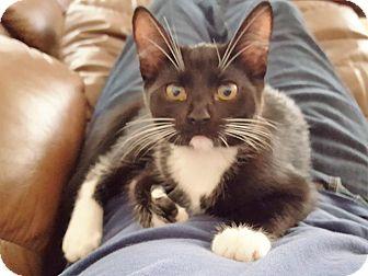 Maine Coon Kitten for adoption in Lodi, California - Bella