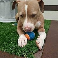 Adopt A Pet :: Bella - Cerritos, CA