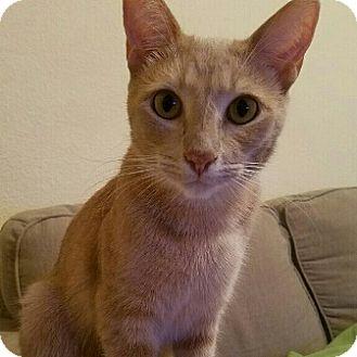 Domestic Shorthair Cat for adoption in Gilbert, Arizona - Peanut