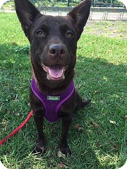 Shepherd (Unknown Type) Mix Puppy for adoption in Sunnyvale, California - Brownie