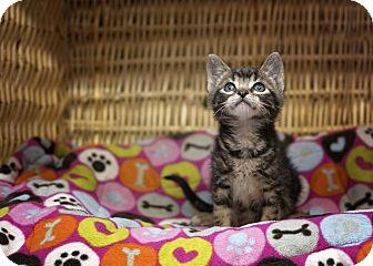 Domestic Shorthair Kitten for adoption in Sterling, Kansas - Smith