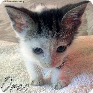 Domestic Shorthair Kitten for adoption in Trenton, New Jersey - Oreo (PM)