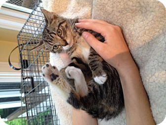 Domestic Shorthair Kitten for adoption in Trenton, New Jersey - Ash (Ember/Flame's sister) (LD)
