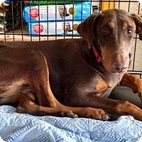 Adopt A Pet :: Stella - Palmdale, CA