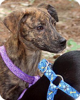 Whippet/Plott Hound Mix Puppy for adoption in Allentown, Pennsylvania - Fritzy