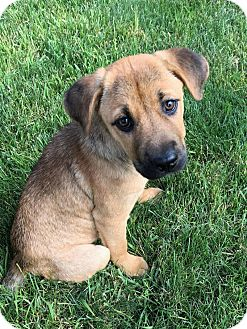 Boxer Mix Puppy for adoption in Madison, Wisconsin - Minnow
