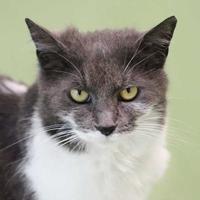 Adopt A Pet :: Razzie - Batavia, OH