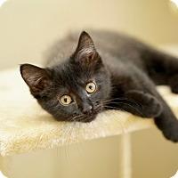 Adopt A Pet :: Batgirl - St. Louis, MO