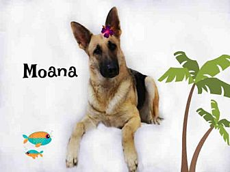 German Shepherd Dog Mix Dog for adoption in Sugar Land, Texas - *MOANA