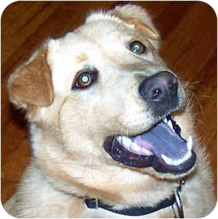 Golden Retriever/Chow Chow Mix Dog for adoption in Troy, Michigan - Buddy ~ URGENT