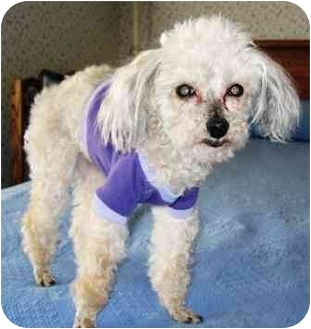 Poodle (Toy or Tea Cup) Mix Dog for adoption in Osseo, Minnesota - Tinker