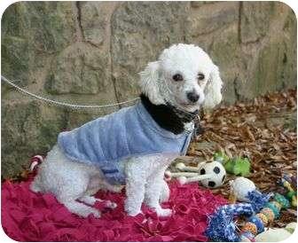 Poodle (Miniature) Dog for adoption in Muldrow, Oklahoma - Bono