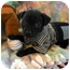 Photo 2 - Labrador Retriever Mix Puppy for adoption in Weeki Wachee, Florida - Pugsley