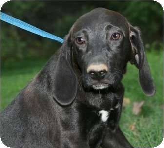 Labrador Retriever/Hound (Unknown Type) Mix Puppy for adoption in Plainfield, Connecticut - Breezy