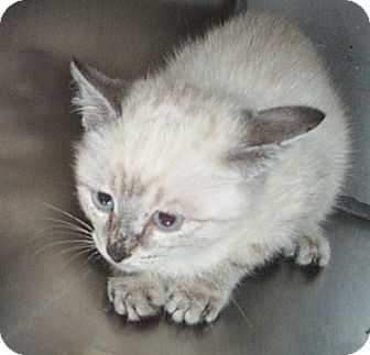 Siamese Kitten for adoption in Columbia, South Carolina - Krispie