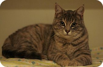 Domestic Shorthair Cat for adoption in Pincher Creek, Alberta - Fergie