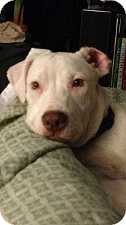 Pit Bull Terrier Mix Puppy for adoption in Pittsburgh, Pennsylvania - Peanut