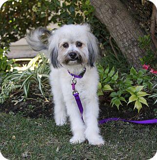 Havanese/Poodle (Miniature) Mix Dog for adoption in Newport Beach, California - CYNDI