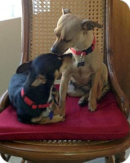 Miniature Pinscher/Chihuahua Mix Dog for adoption in Las Vegas, Nevada - Joey & Zoey