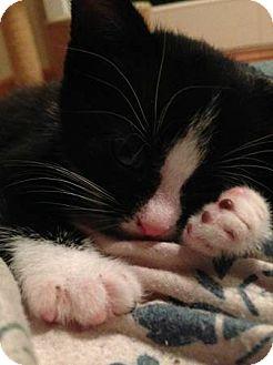 Domestic Shorthair Kitten for adoption in Chicago, Illinois - Hillary