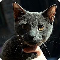 Adopt A Pet :: Boris Blue - Brooklyn, NY