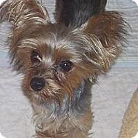 Adopt A Pet :: Cordelia - CAPE CORAL, FL