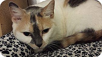 Calico Cat for adoption in Chesapeake, Virginia - Victoria