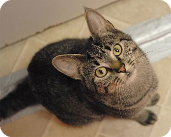 Domestic Shorthair Cat for adoption in Winchendon, Massachusetts - Caddy
