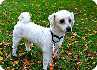 Bichon Frise Mix Dog for adoption in Franklin, Indiana - Griffin