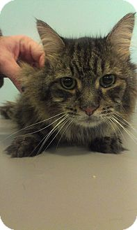 Domestic Longhair Cat for adoption in Muskegon, Michigan - Justice
