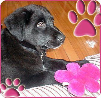 Collie Puppy for adoption in Kirkland, Quebec - Amy