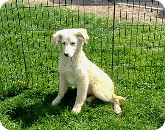 Golden Retriever/German Shepherd Dog Mix Puppy for adoption in Liberty Center, Ohio - Suzy