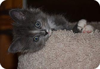 Domestic Mediumhair Kitten for adoption in El Segundo, California - Kohl