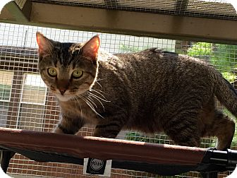 Bengal Kitten for adoption in Buffalo, New York - Nigel