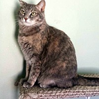 Domestic Shorthair Cat for adoption in Arlington/Ft Worth, Texas - Delilah