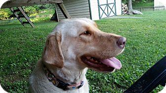 Labrador Retriever Dog for adoption in Baltimore, Maryland - Maggie