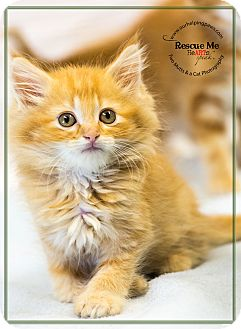 Domestic Longhair Kitten for adoption in Washburn, Wisconsin - Pronto Pup